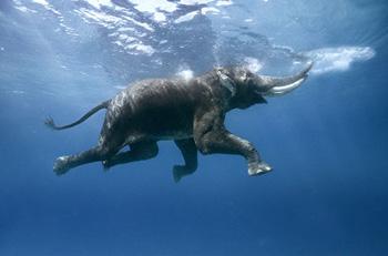 elephantunderwater